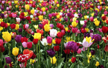 Manage campaigns field tulips