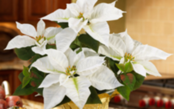 Manage campaigns white poinsettia