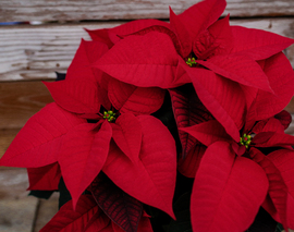 Card image poinsettia red closeup