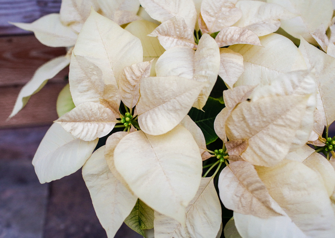 Details poinsettia white closeup 2019 204