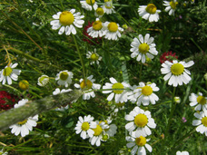 Small herb  german chamomile hb118