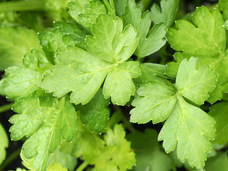 Small herb  parsley giant of italy hb133