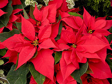Small red poinsettias