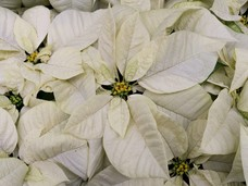 Small white poinsettias