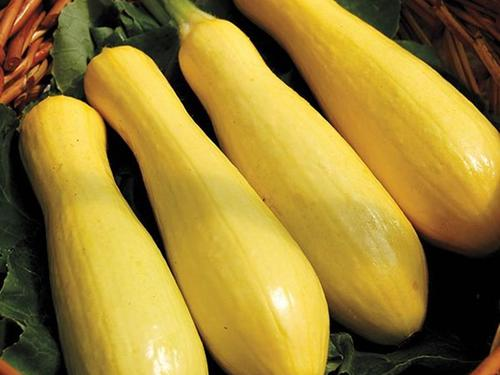 Success PM Straightneck Yellow Squash