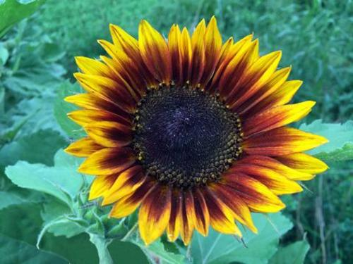 Ring of Fire Sunflower