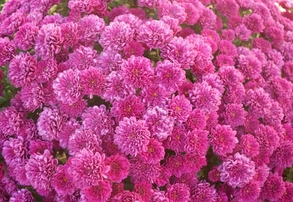 Display pink mums
