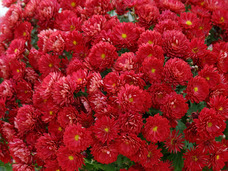 Small red mums
