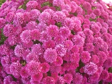 Small pink mums