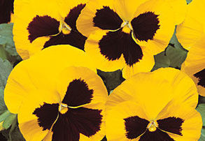 Display yellow pansy