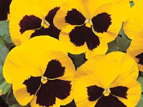 Yellow Pansy Flats - 18 plants