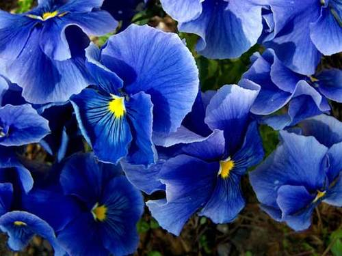 Blue/Purple Pansies - 18 plants