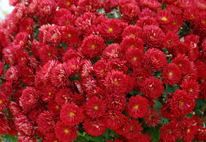 Display red mums