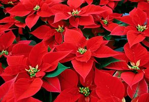 Display poinsettia red