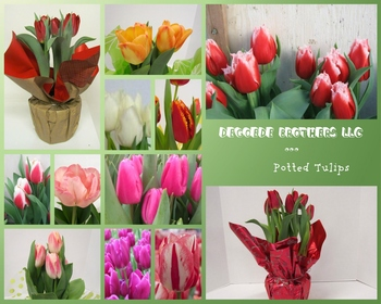 Market card vday 2017 pot tulips