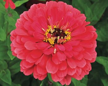 Market card giant coral zinnia