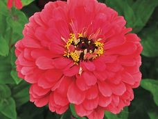 Small giant coral zinnia