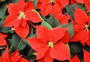 Display poinsettias how to keep them thriving year round