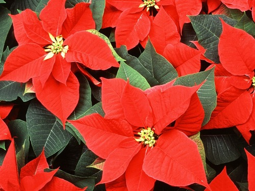 "*3 pack, 6"" Red Poinsettia"
