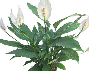Market card peace lily 800
