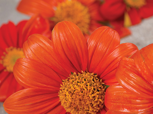 Mexican Red Sunflower-FL729