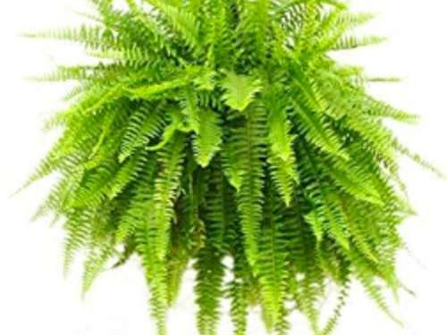 "10"" Fern Hanging Basket"