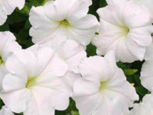 "4.5"" White Easy Wave Petunia Plant"