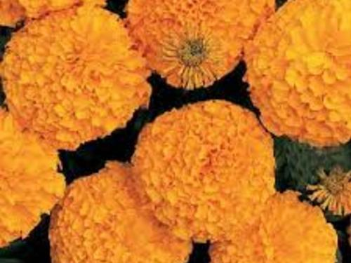 Inca Orange Marigold
