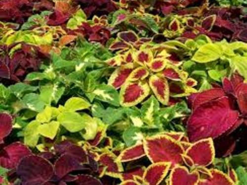 Wizard Mixed Coleus Flat