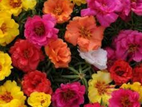 Portulaca Mixed Flat