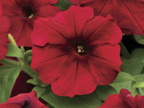 "4.5"" Red Velour Easy Wave Petunia Plant"