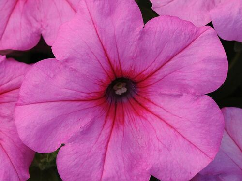 "4.5"" Pink Passion Easy Wave Petunia Plant"