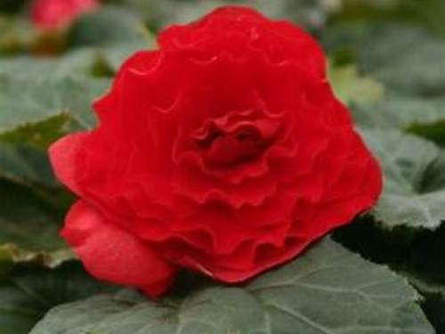 "4.5"" Red Tuberous Begonia Plant"
