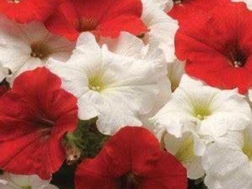 "Red and White 10"" Hanging Basket"