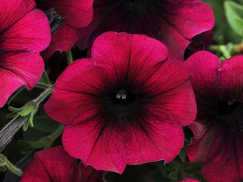 "4.5"" Burgundy Velour Easy Wave Petunia"
