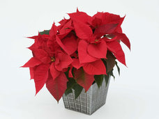 Small 6 red poinsettia
