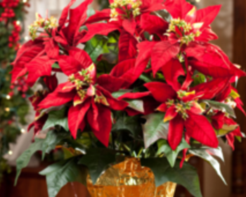 Market card big red poinsettia
