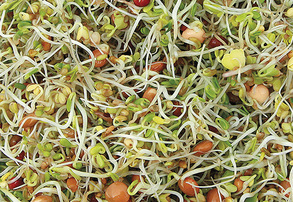 Display spicy salad mix sprouting seeds