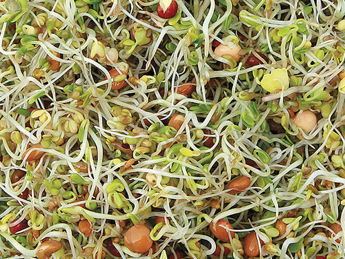 Spicy Salad Mix Sprouting Seeds