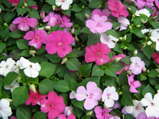 Small impatiens set of 8
