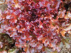 Small red salad bowl lettuce