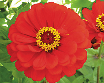 Market card red scarlet zinnia