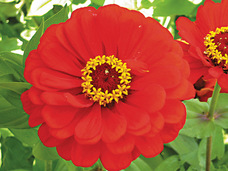 Small red scarlet zinnia