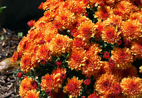 Display orange mums