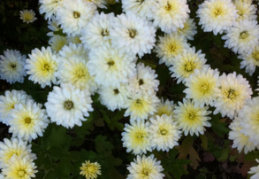 Display white mums